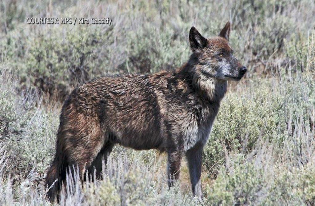 Yellowstonw Wolf