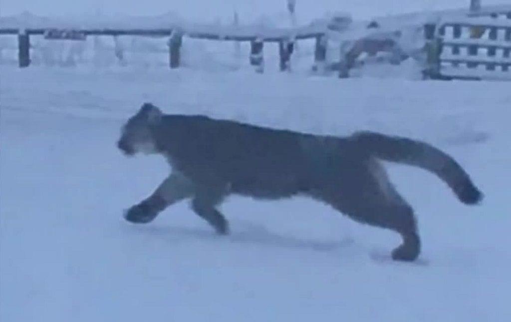 Florence Mountain Lion photo