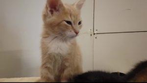 AniMeals Kitten