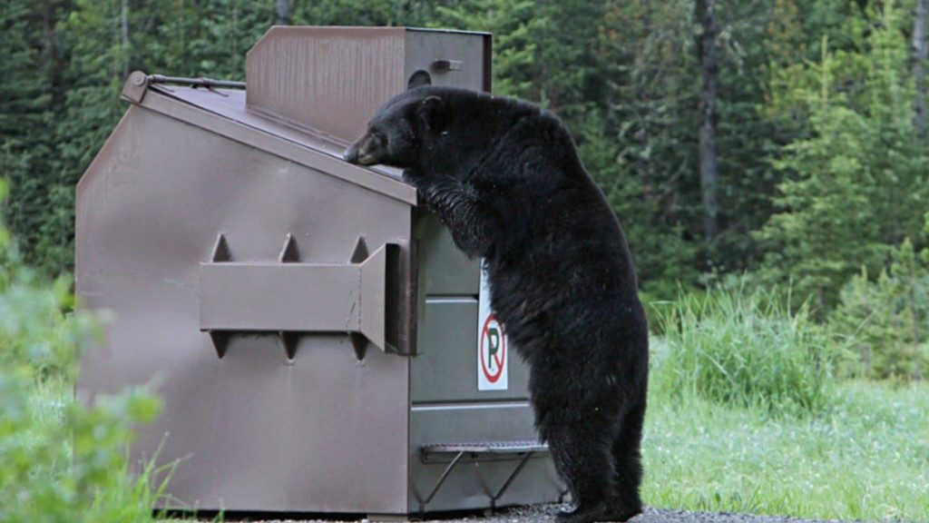 Yellowstone Black Bear Dumpster